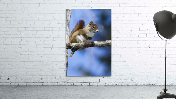 Eastern grey squirrel (Sciurus carolinensis) perched on a branch; Quebec, Canada