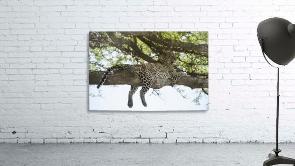 Leopard sprawled on tree limb near Ndutu, Ngorongoro Crater Conservation Area; Tanzania