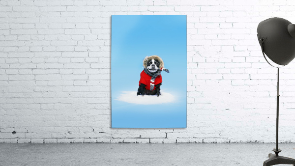 French bull terrier wearing jacket on blue background; Toronto, Ontario, Canada