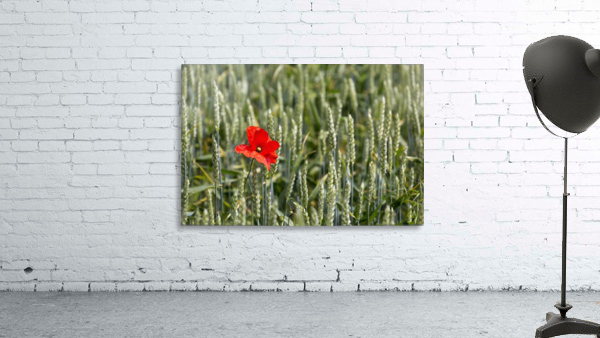Close up of red poppy in a green wheat field; Brehec, Brittany, France