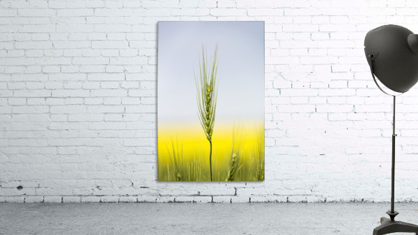 Close up of a green wheat head with the yellow colour of a flowering canola field in the background and blue sky; Acme, Alberta, Canada