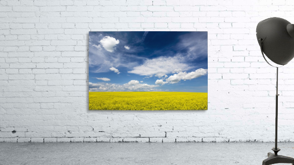 Flowering canola field with clouds and blue sky; Alberta, Canada