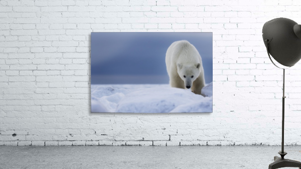 Polar bear (Ursus Maritimus); Churchill, Manitoba, Canada