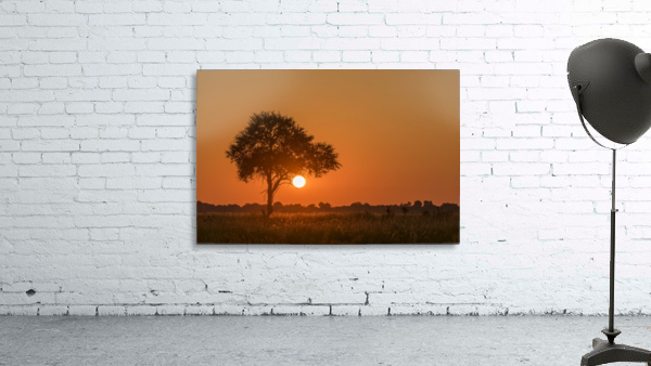 Backlit grass and silhouetted tree at sunset; Botswana