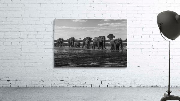 Line of elephants (Loxodonta africana) crossing river in sunshine; Botswana