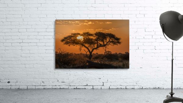Silhouette of acacia tree at orange sunset; Botswana