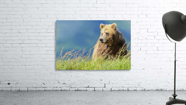 Portrait of a brown bear (portrait), Katmai National Park; Alaska, United States of America