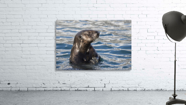 Sea Otter (Enhydra lutris) swims in Resurrection Bay near Seward small boat harbour in south-central Alaska; Seward, Alaska, United States of America