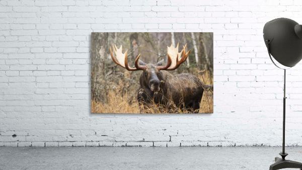 Bull moose (alces alces) in rutting season; Anchorage, Alaska, United States of America