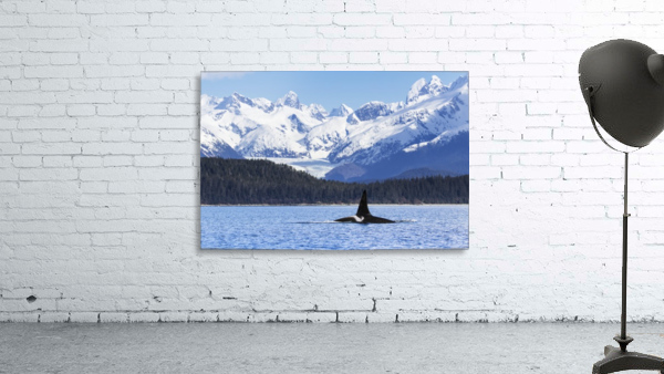 An Orca Whale (Killer Whale) (Orcinus orca), male as indicated by the height of it's dorsal fin, surfaces in Lynn Canal, Herbert Glacier, Inside Passage; Alaska, United States of America