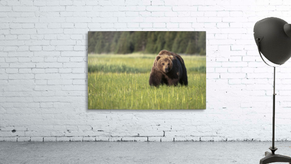 Brown bear (ursus arctos) in Lake Clark National Park; Alaska, United States of America
