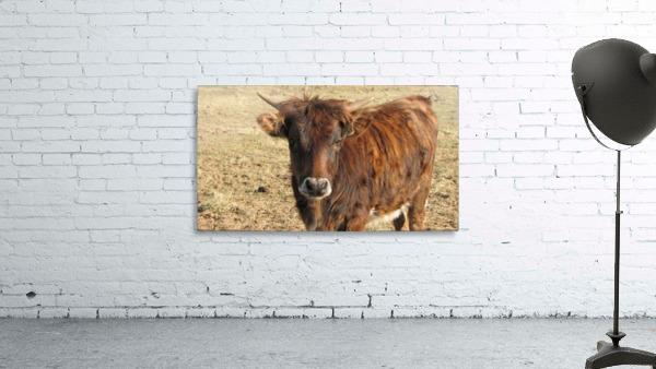 Bull in the Spring VP1