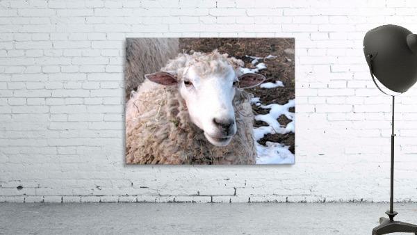 Lamb in the Winter VP1