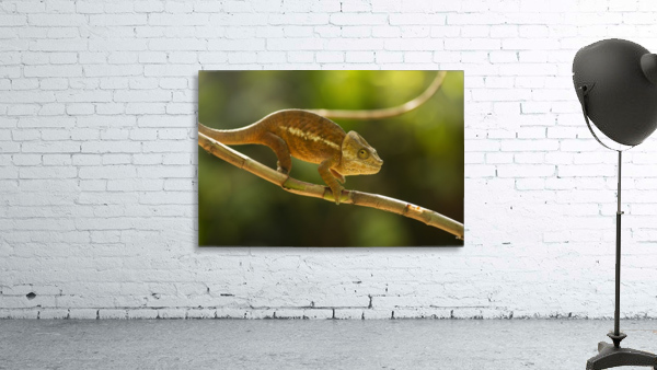Chameleon in his natural habitat, Madagascar