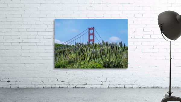 San Francisco Lupines