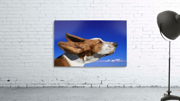 Dog With Ears In The Wind
