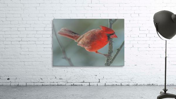 Cardinal Photo by Jason Andrew Smith
