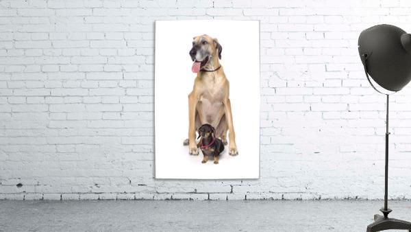 Great Dane And Dachshund Portrait