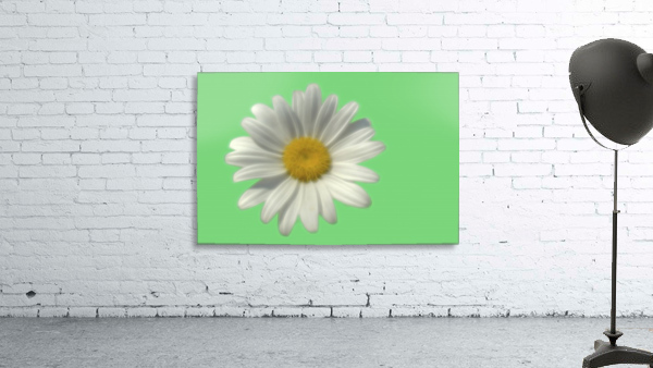 Soft bloom daisy