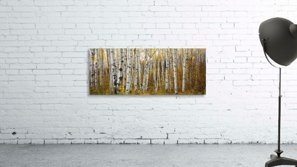 Colorado, Steamboat, Aspen Tree Trunks In Grove, Yellow Autumn Leaves.