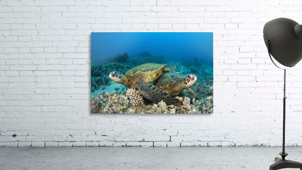 Hawaii, Green Sea Turtles (Chelonia Mydas) Over Coral Reef.