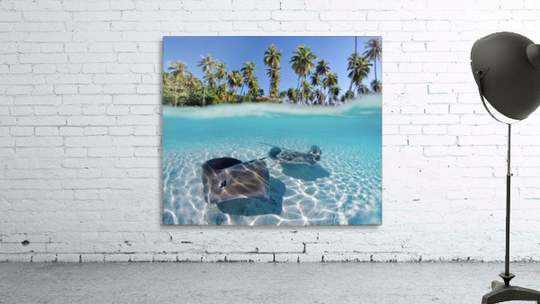 French Polynesia, Tahiti, Moorea, Two Stingray In Beautiful Turquoise Water.