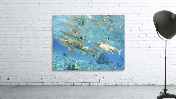 French Polynesia, Rangiroa, Blue Lagoon, Blacktip Reef Shark (Carcharhinus Melanopterus).