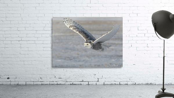 Snowy Owl in flight 6