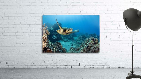 USA, Green Sea Turtle (Chelonia Mydas); Hawaii