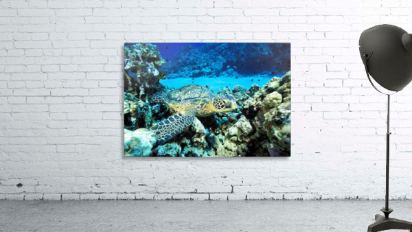 Hawaii, Green Sea Turtle (Chelonia Mydas) On Reef With Tropical Fish