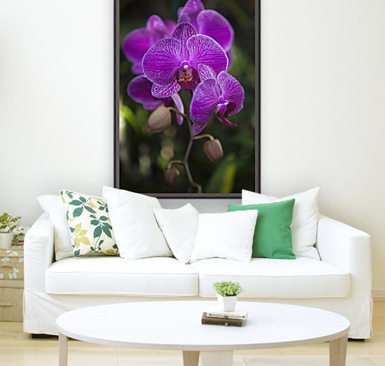 Phalaenopsis orchids in bloom; Kailua, Island of Hawaii, Hawaii, United States of America with Floating Frame