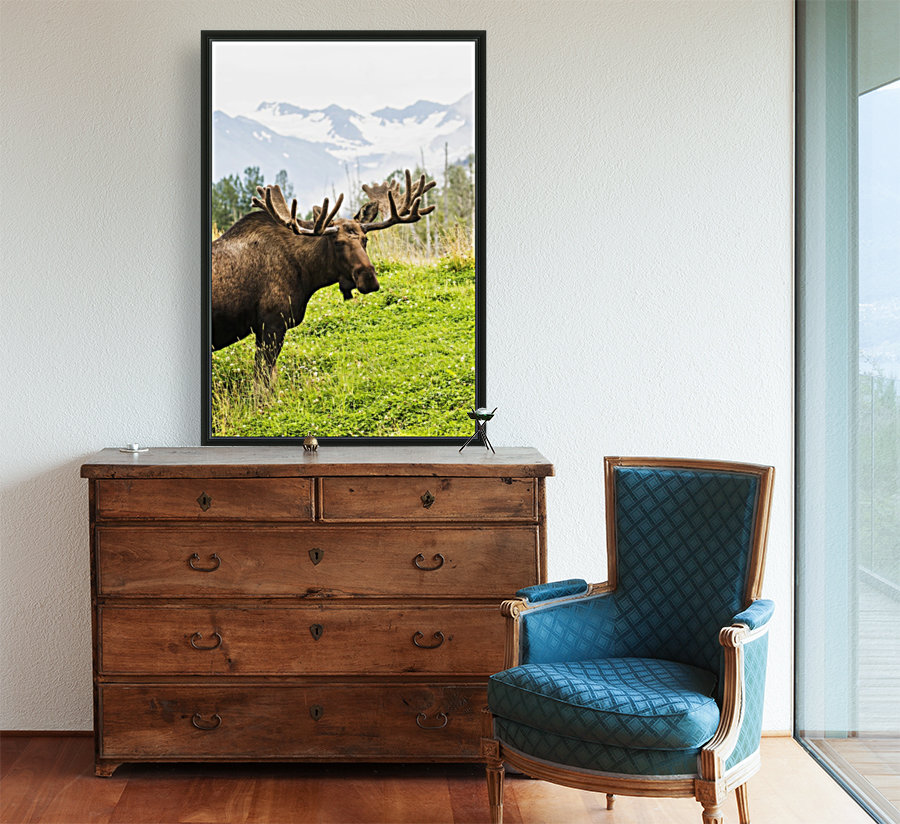 Bull moose (alces alces) with antlers in velvet, captive in Alaska Wildlife Conservation Center, South-central Alaska; Portage, Alaska, United States of America  Art