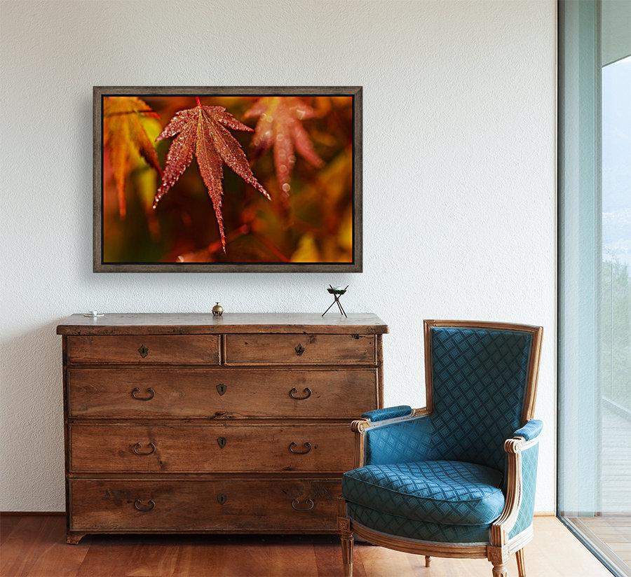 Japanese Maple (Acer palmatum) turning red in the autumn; Astoria, Oregon, United States of America  Art