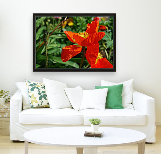 Orange Poppy Flowers Growing with Floating Frame