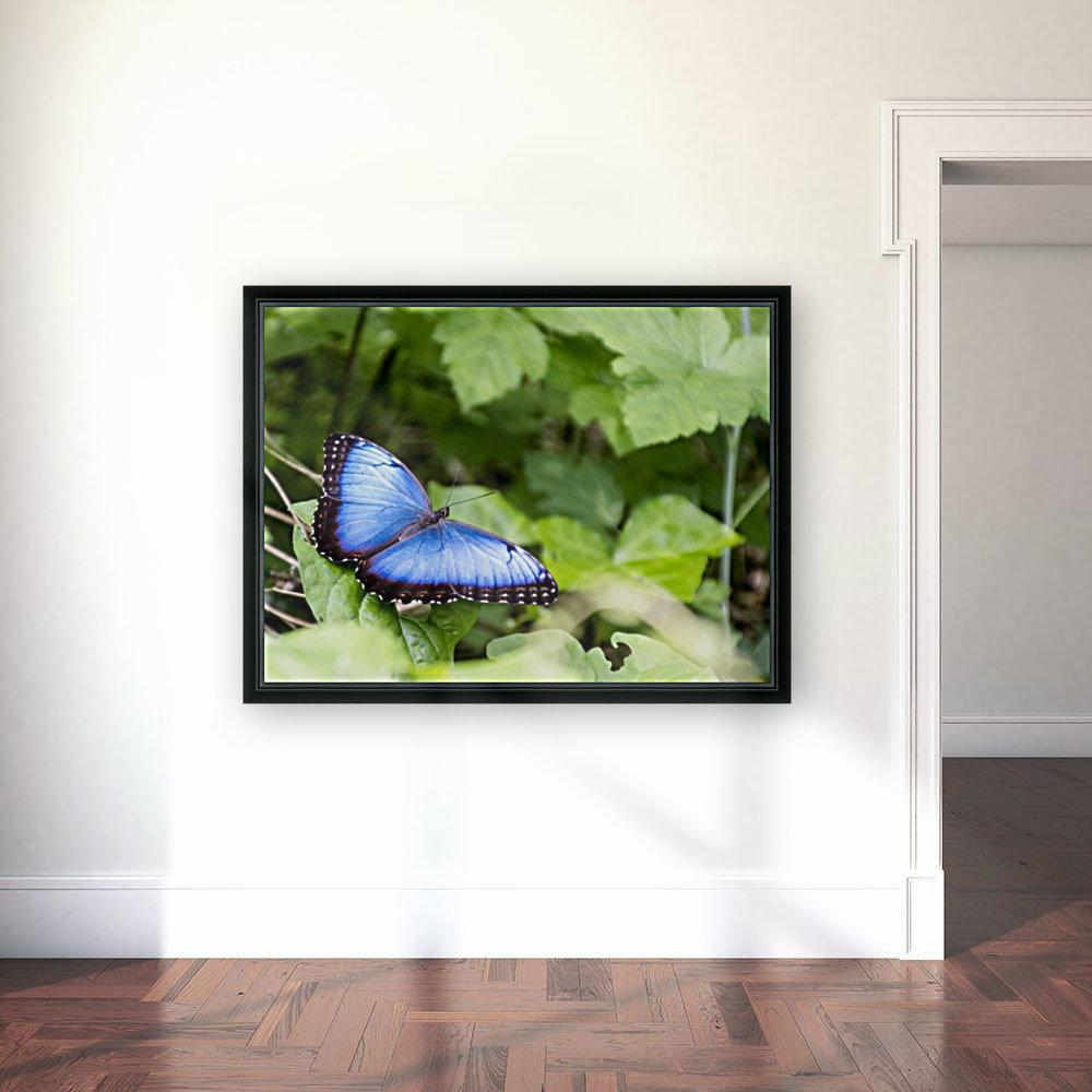 Morpho peleides butterfly  Art