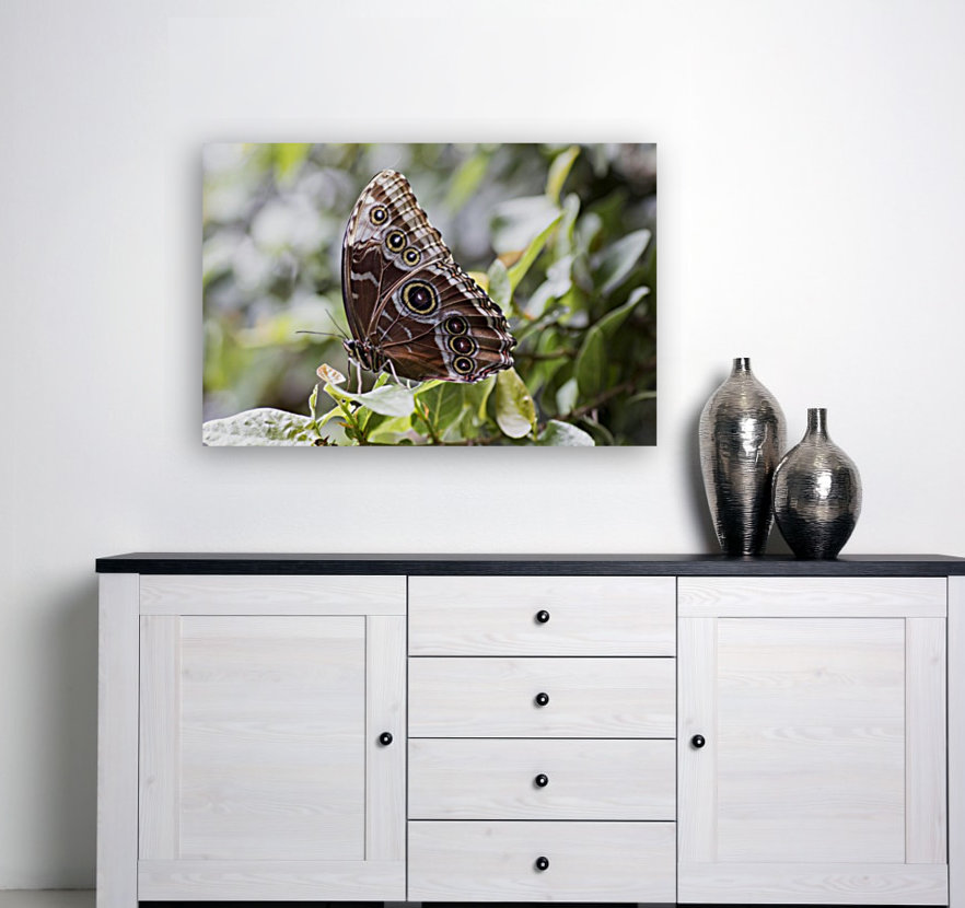 Morpho peleides butterfly with Floating Frame