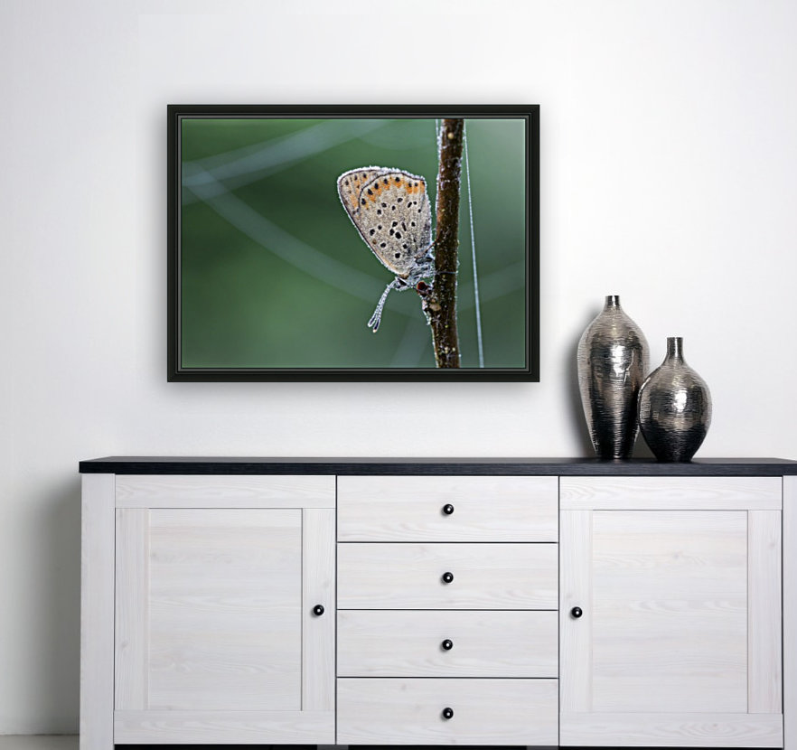 Lycaena tytirus butterfly with Floating Frame