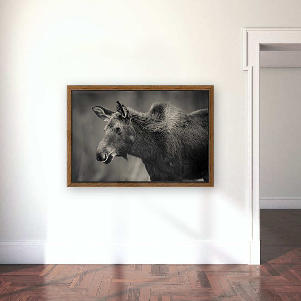 Young Moose with Floating Frame