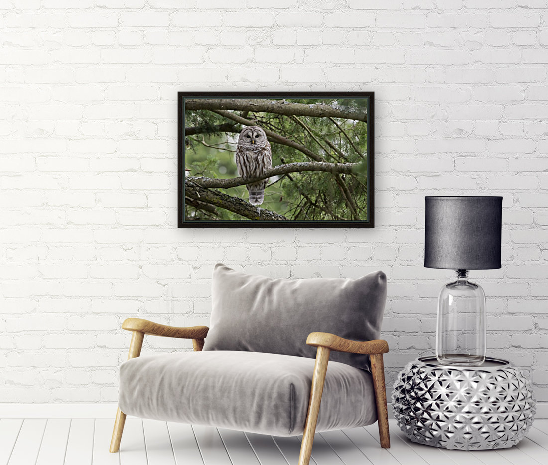 Barred Owl - Eye Contact  Art