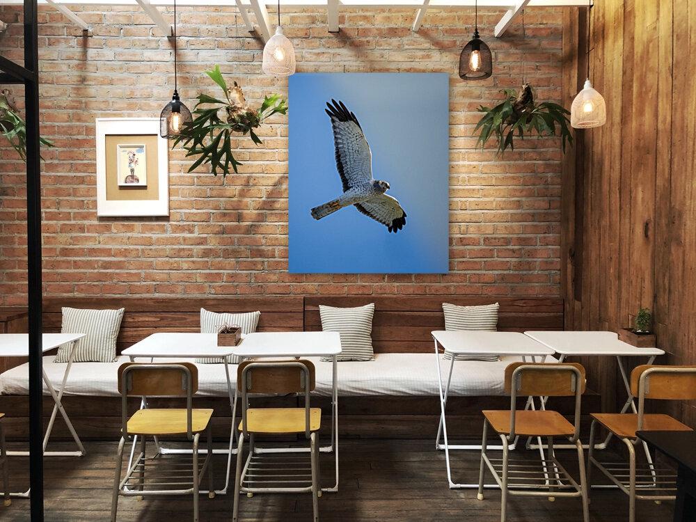 Northern Harrier in Flight  Art