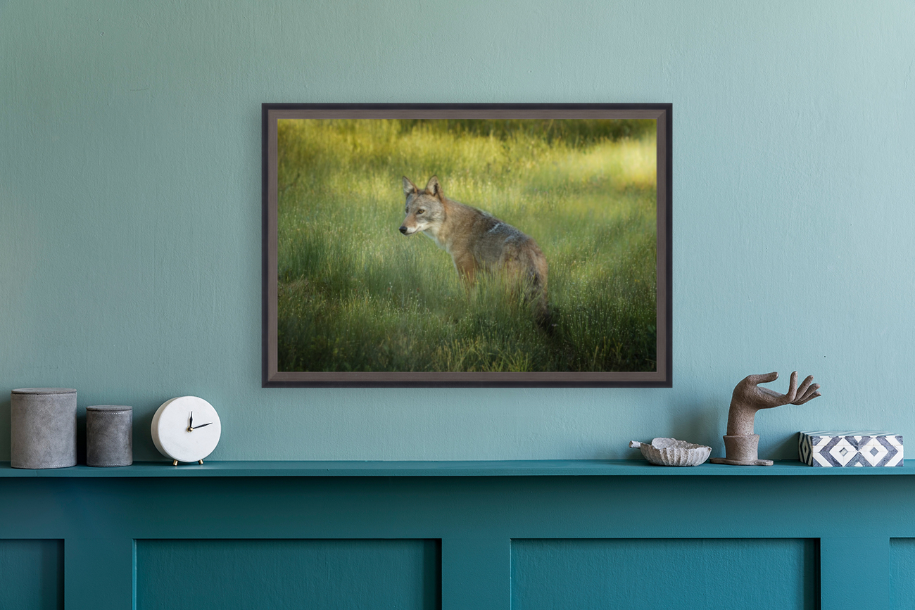 Evening Coyote with Floating Frame