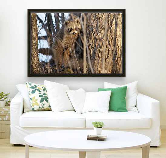 Racoon peeking through twigs  Art