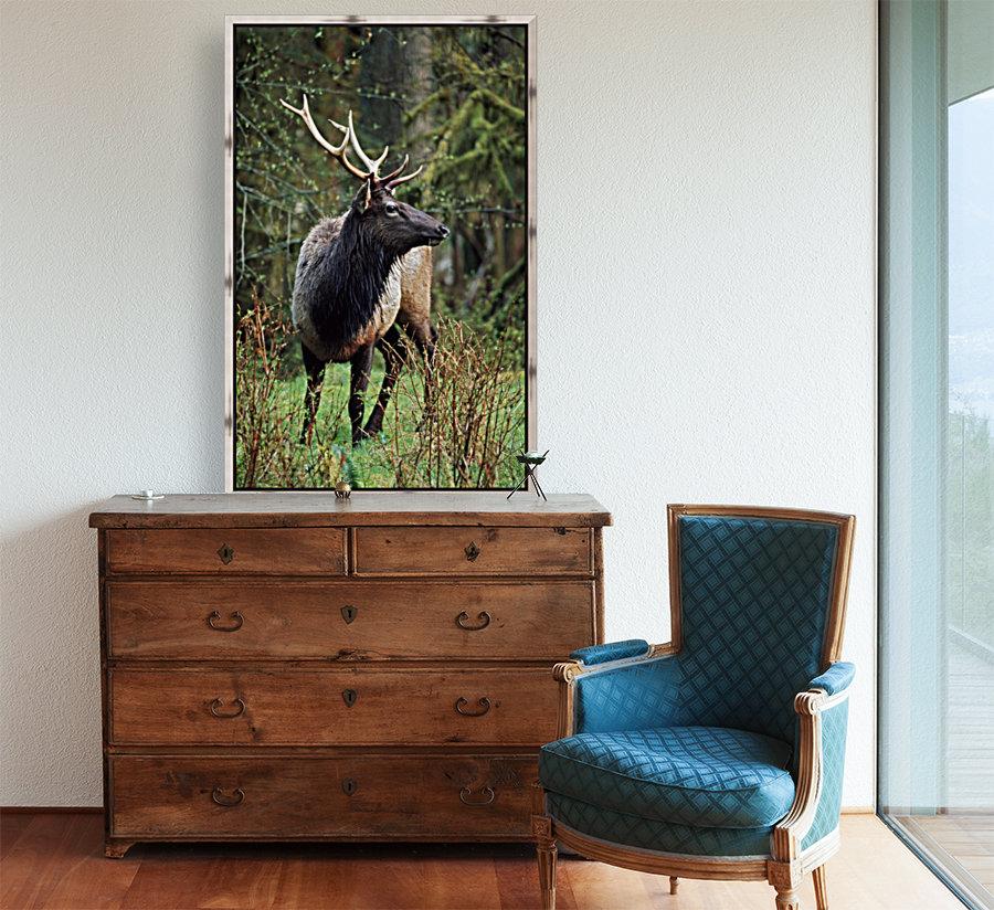 Roosevelt Elk (Cervus Canadensis Roosevelti); Olympic National Park, Washington, Usa  Art