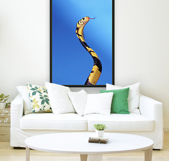 Forest cobra (naja melanoleuca) against a blue background;British columbia canada  Art