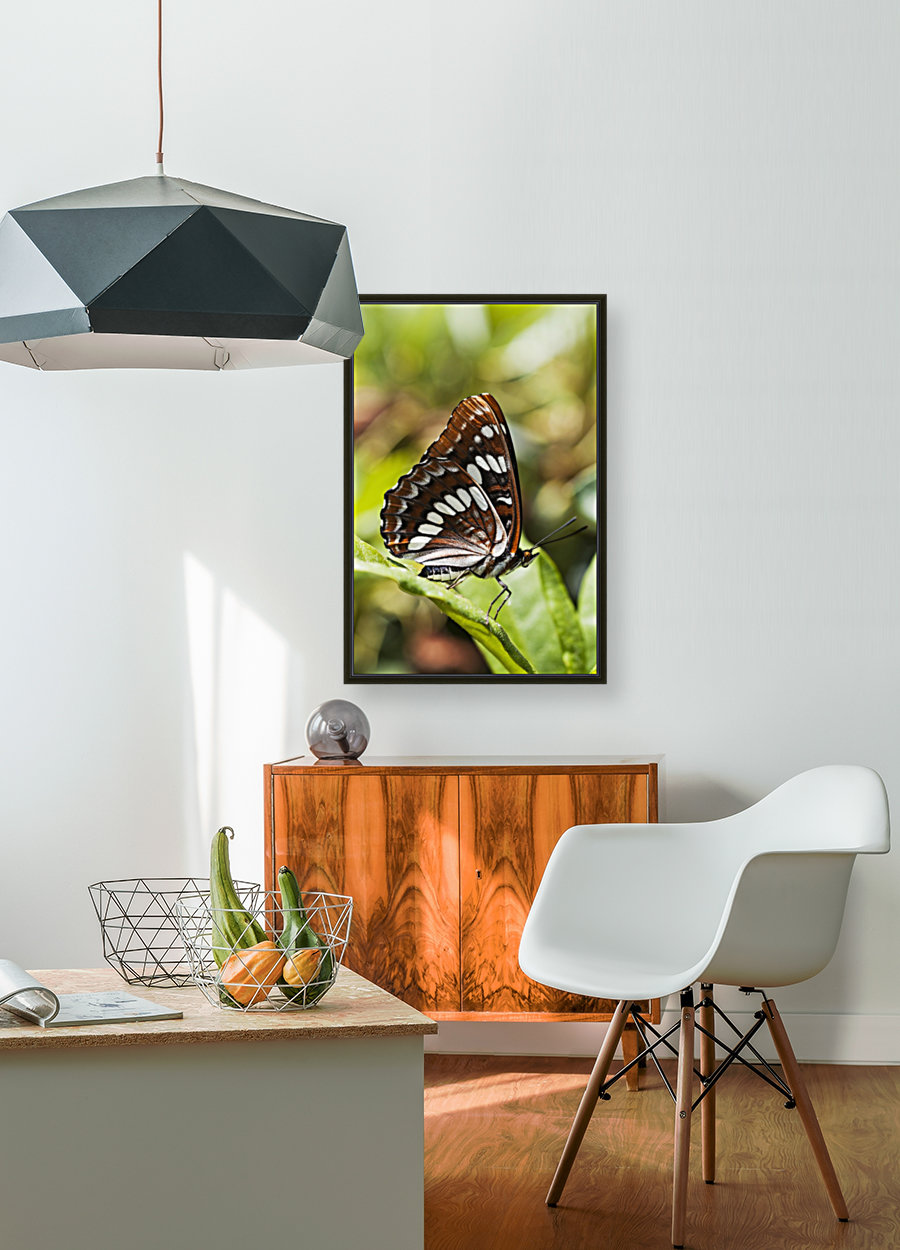 A White Admiral Butterfly (Limenitis arthemis) rests on a leaf; Astoria, Oregon, United States of America  Art