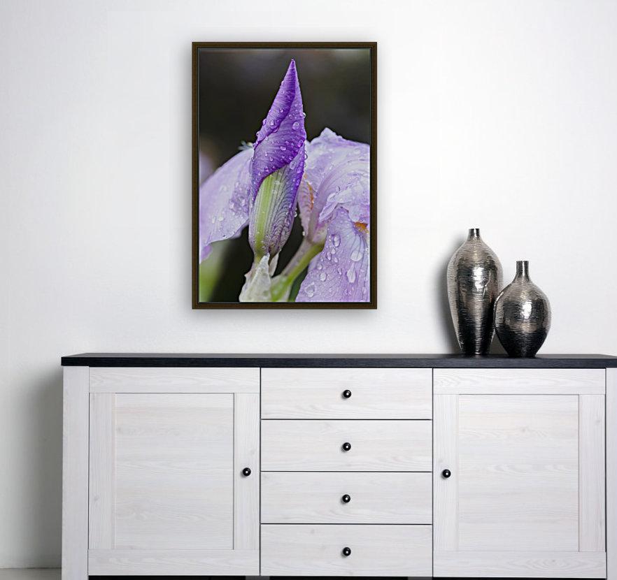 Close up of Iris; Quebec, Canada  Art