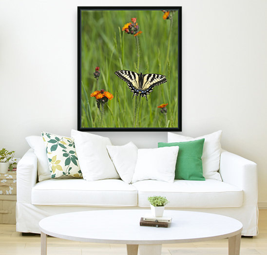 Eastern tiger swallowtail (Papilio glaucus) butterfly resting on flowers; Ontario, Canada  Art