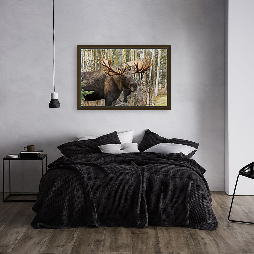 Bull moose (alces alces), rutting season; Alaska, United States of America with Floating Frame