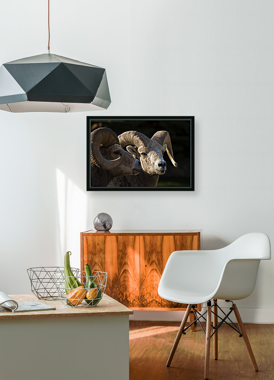 Bighorn Sheep, Waterton National Park, Alberta, Canada  Art