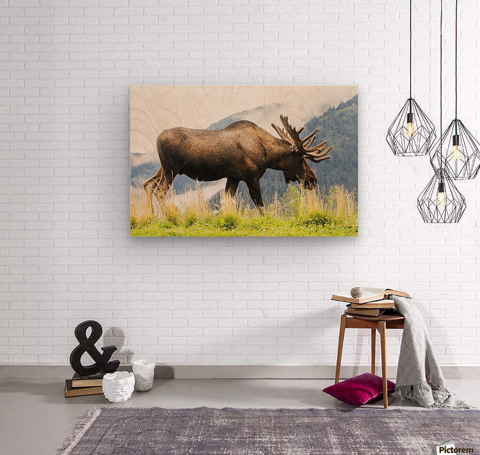 Bull moose (alces alces) with antlers in velvet, captive in Alaska Wildlife Conservation Center, South-central Alaska; Portage, Alaska, United States of America  Wood print